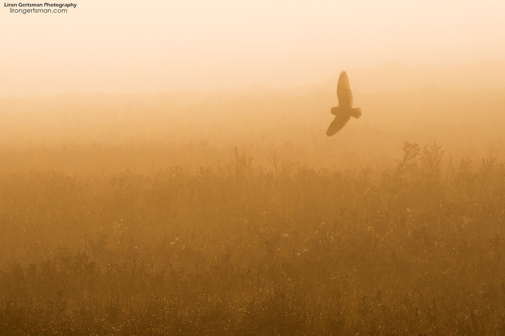 Short-eared-Owl-in-the-fog-web.jpg