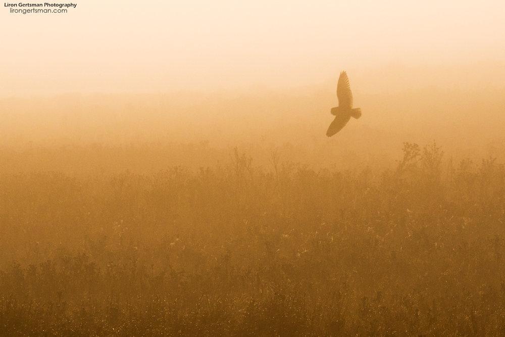 Short-eared-Owl-in-the-fog-web.jpg