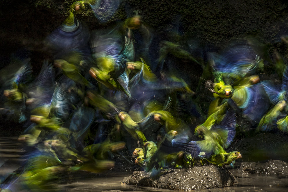 Cobalt-winged Parakeets1.jpg
