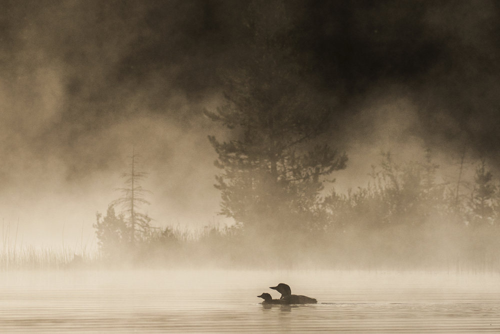 Common Loon and chick wpy.jpg