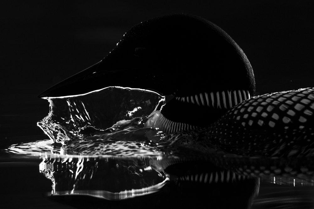 Common Loon dark water.jpg