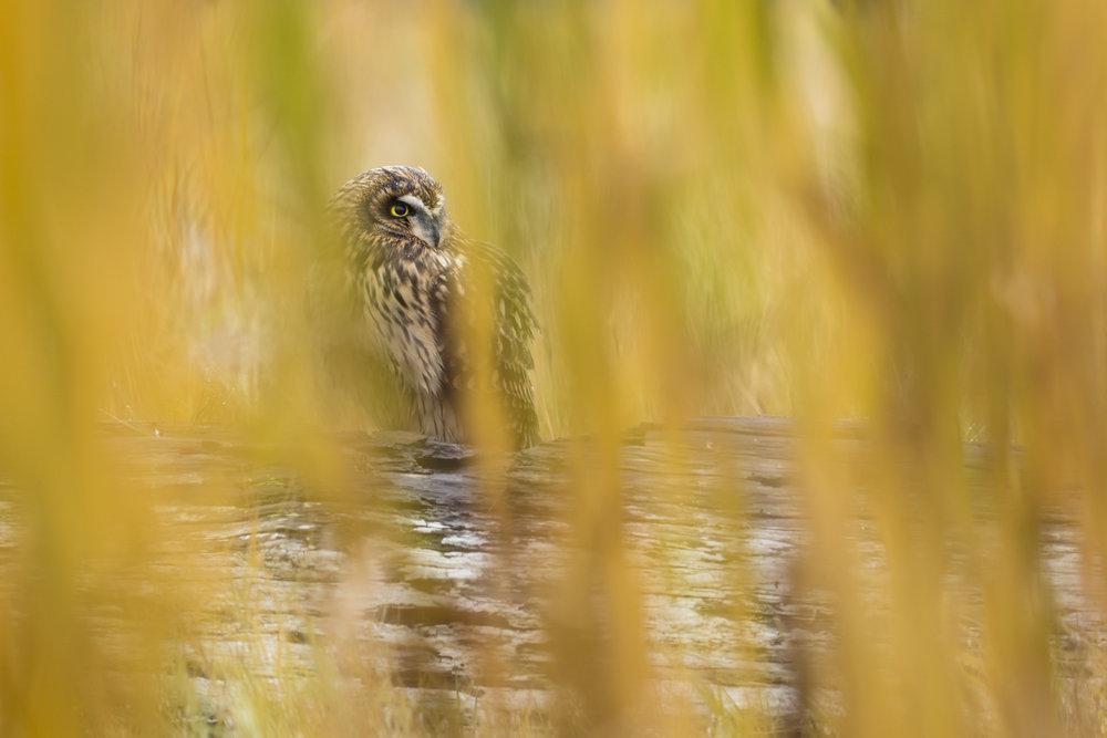 Short-eared Owl.jpg