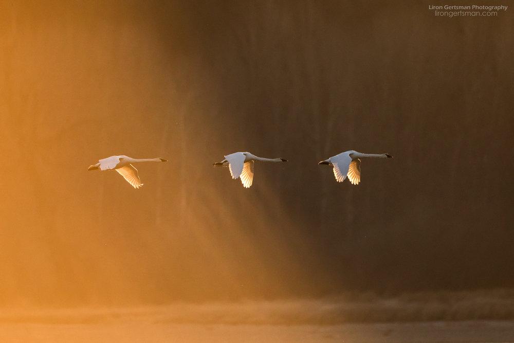 Trumpeter-Swans-at-Sunrise-WEB.jpg