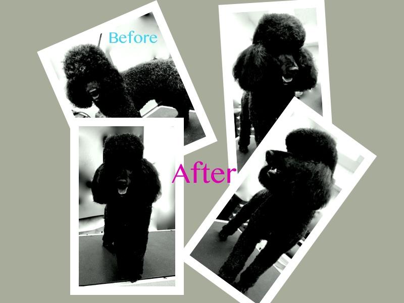 black standard poodle groom.jpg