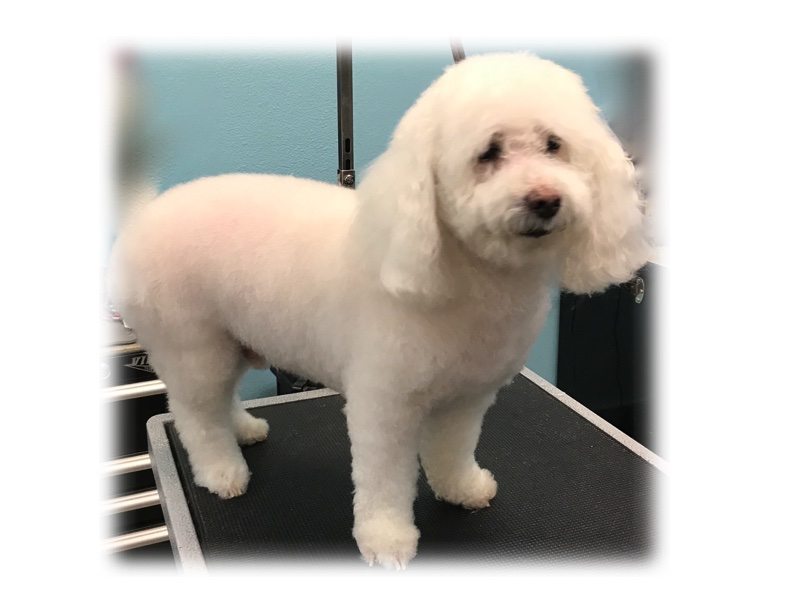 OLD WHITE MIX POODLE.jpg