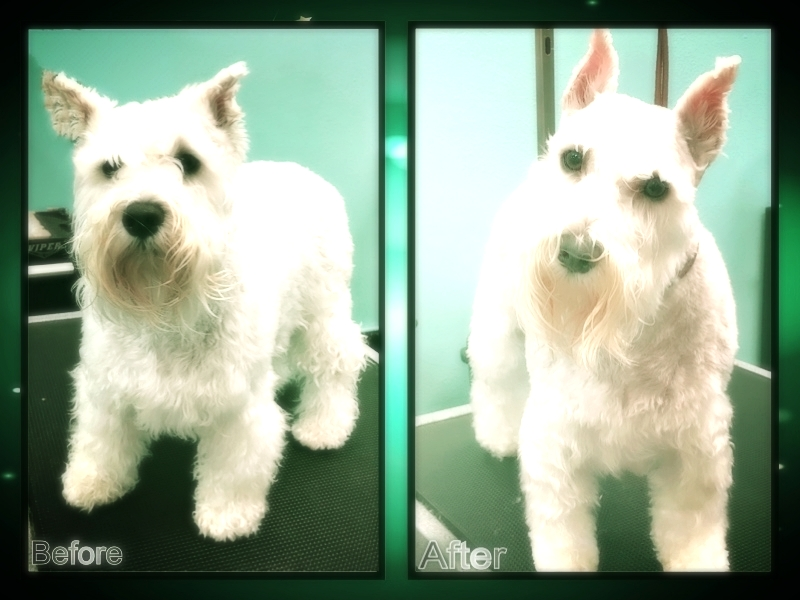 White Terrier Before After.jpg