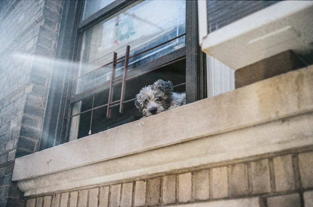 A curious puppy in Washington Heights. Canonet QL17, Kodak Gold 200.