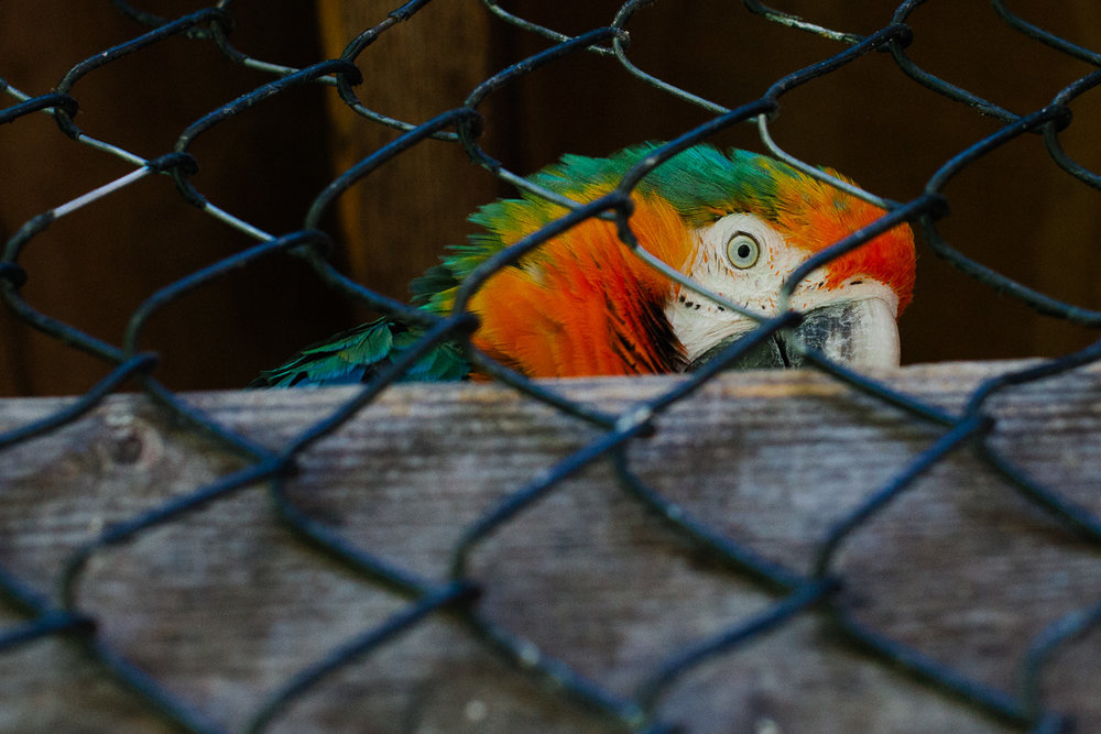 A parrot in New York. Canon 5D Mark II, Canon 50mm f/1.2 L.