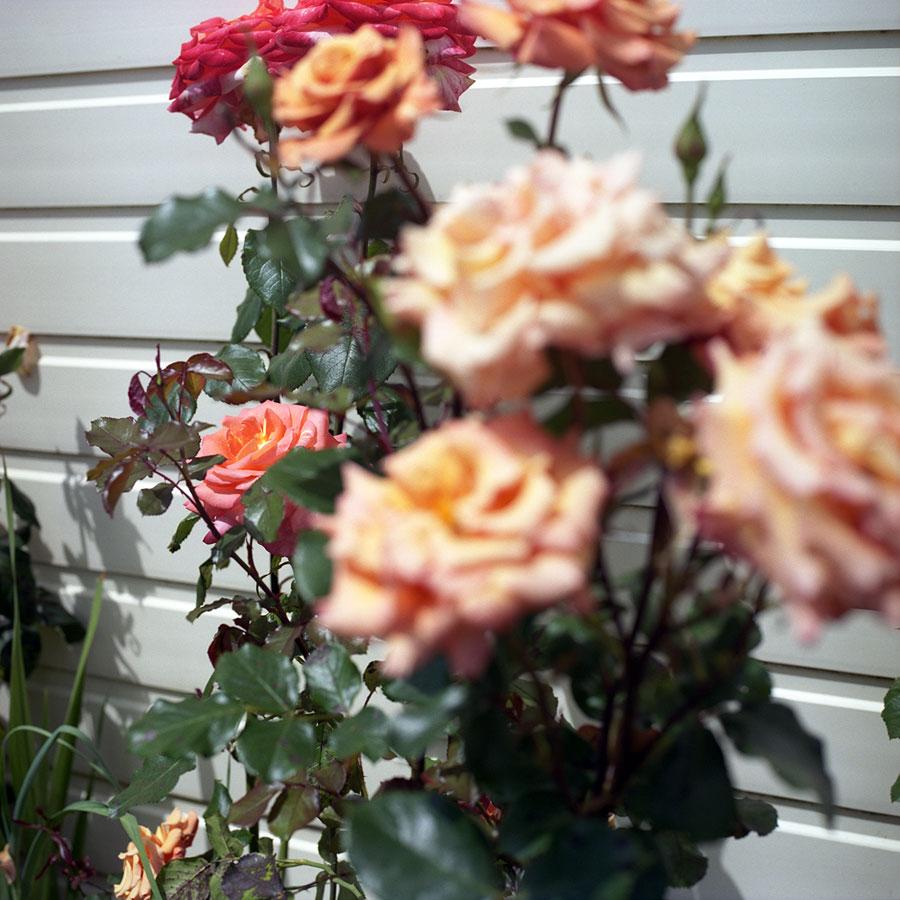 summer-rose-2.jpg