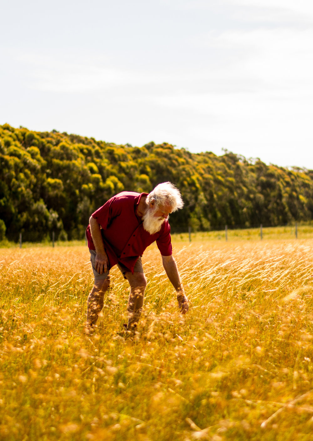 Bruce Pascoe examining his first crop of indigenous kangaroo grass on his farm near Mallacoota, North Eastern Victoria | Photo by  Rachel Mounsey