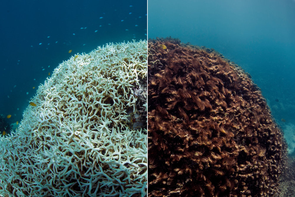 The bleaching of the Great Barrier Reef. Photo courtesy of The Ocean Agency / XL Caitlin Seaview Survey