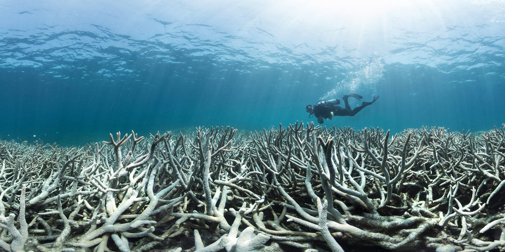 Coral bleaching at Heron Island, QLD. Photo courtesy of The Ocean Agency / XL Caitlin Seaview Survey