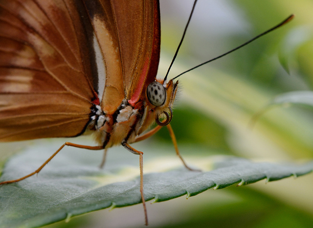Butterfly Macro! Por  Holley And Chris Melton  licenciado bajo  CC BY 2.0   https://www.flickr.com/photos/chrisandholley/8725452776/