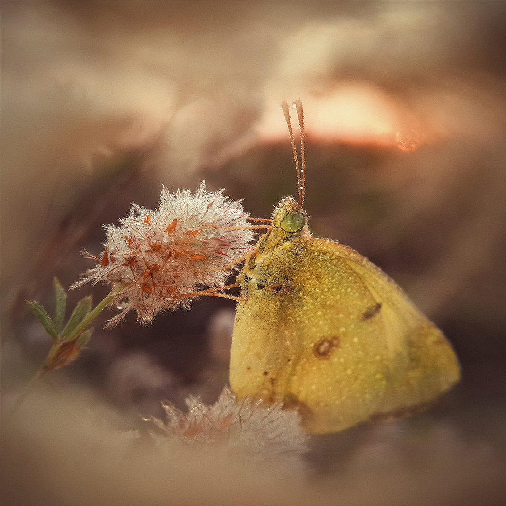 Morning Dream of a Butterfly by Natalya Peshkova