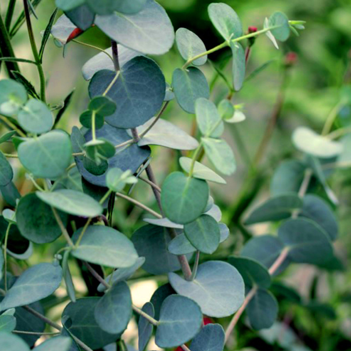 Copy of Eucalyptus
