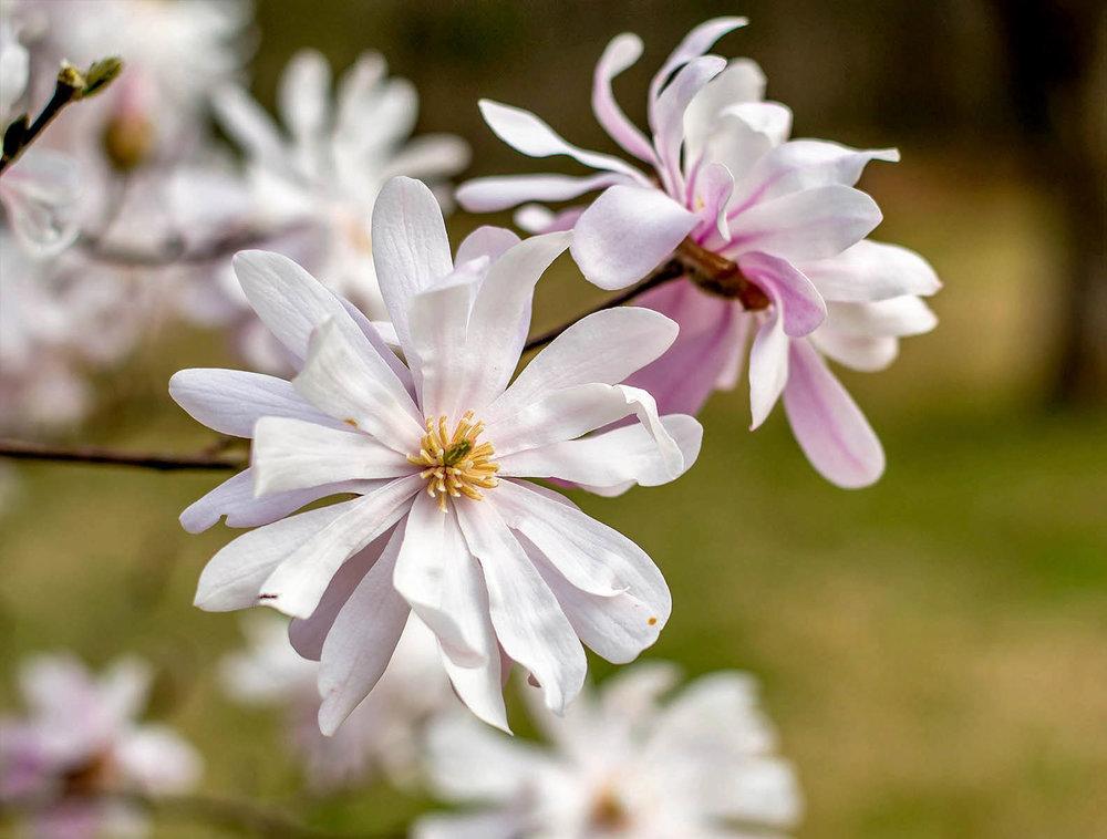 Star Magnolia Magnolia stellate