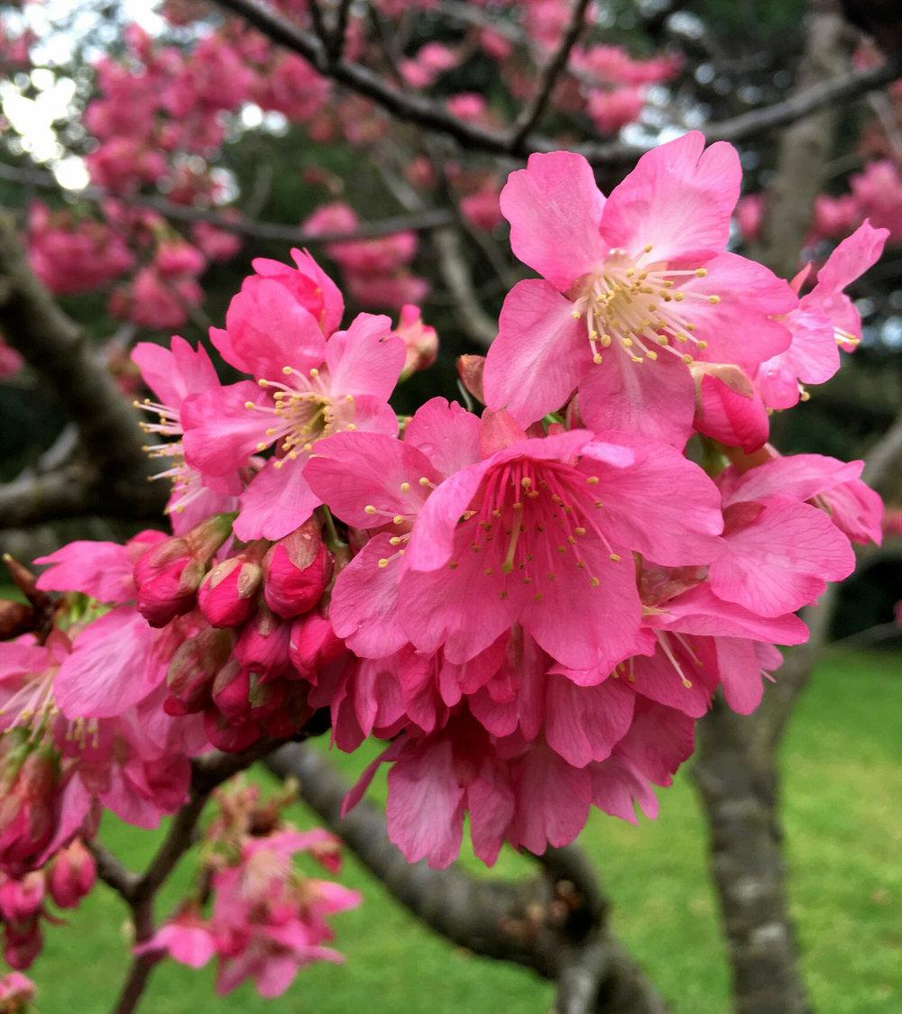 Formosan Cherry Prunus campanulata