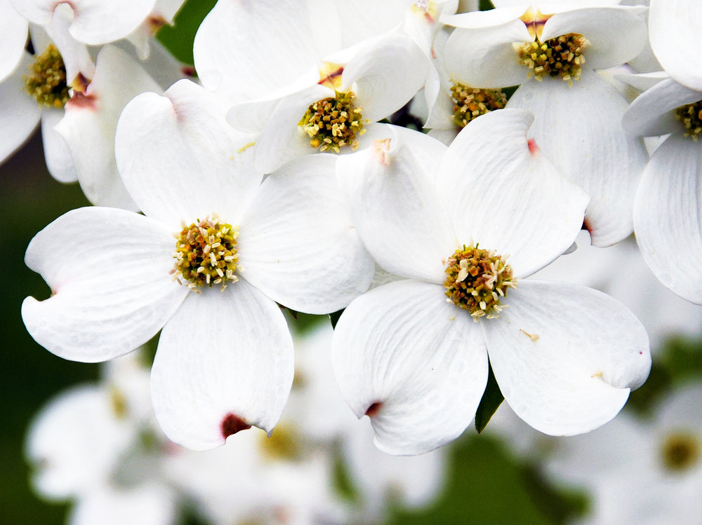 iconic-flowers-garden-olympics-gettyimages-dogwood.jpg