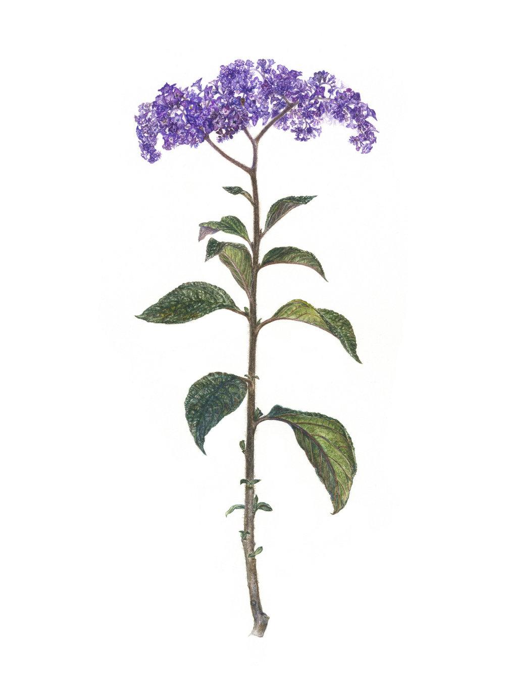 Cherrypie Plant, Heliotrope sp.