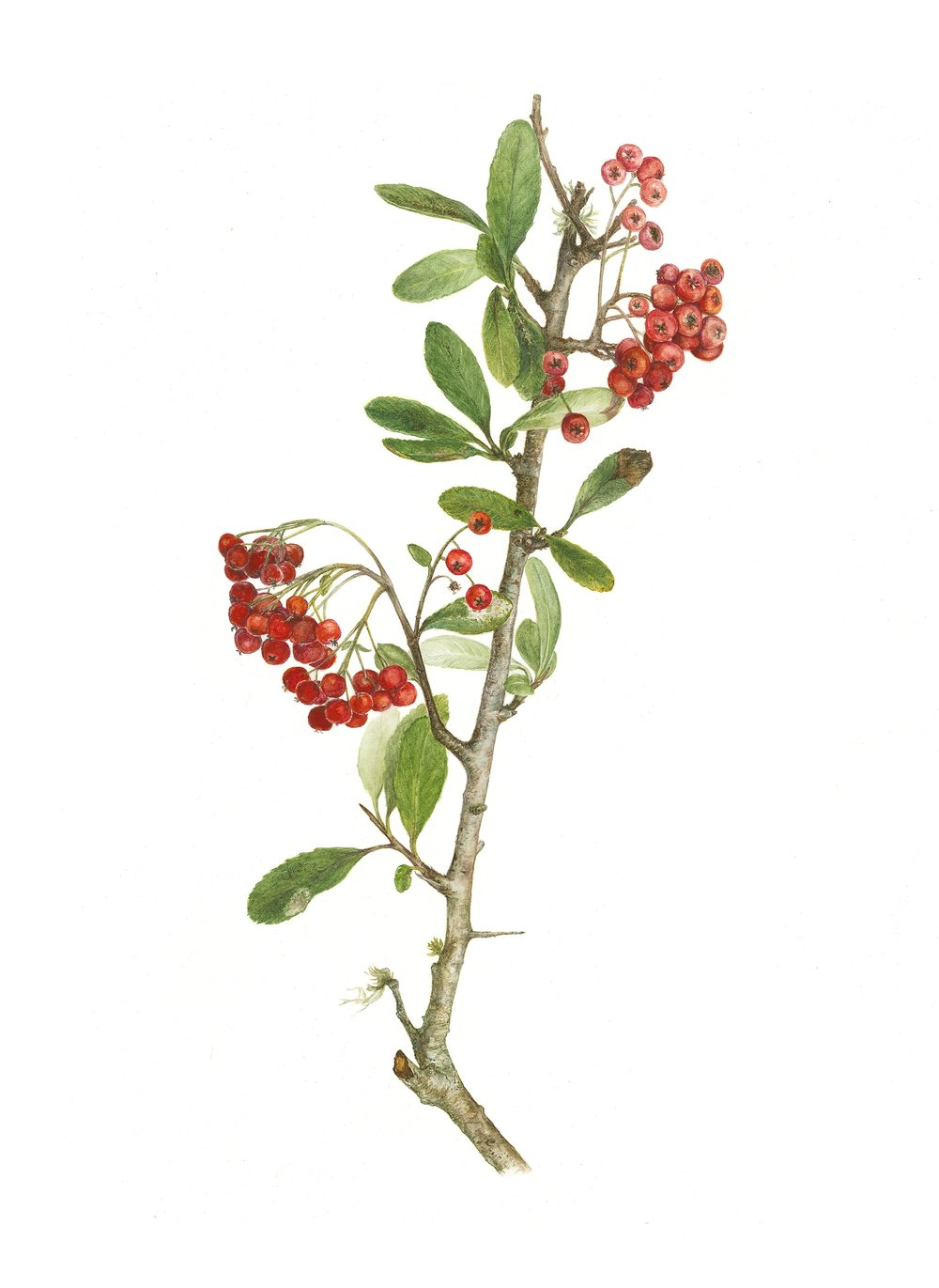 Scarlet Firethorn, Pyracantha coccinea