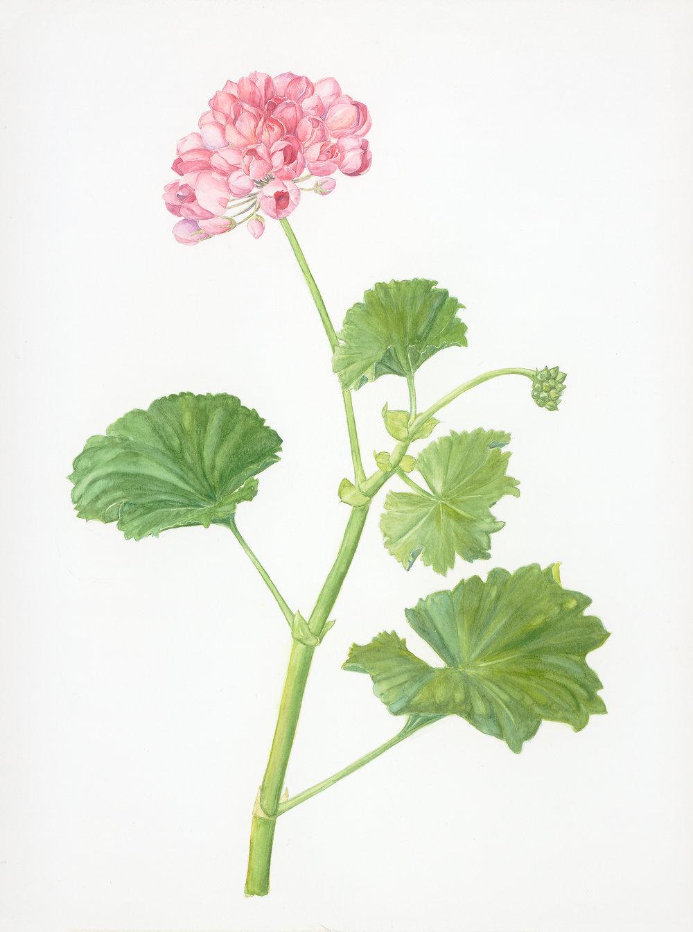 Geranium, Pelargonium