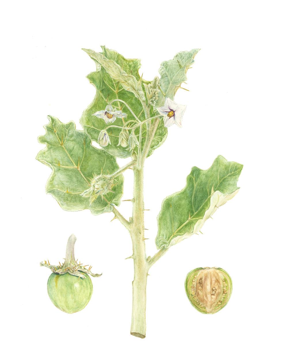 White Margined Nightshade, Solanum marginatum