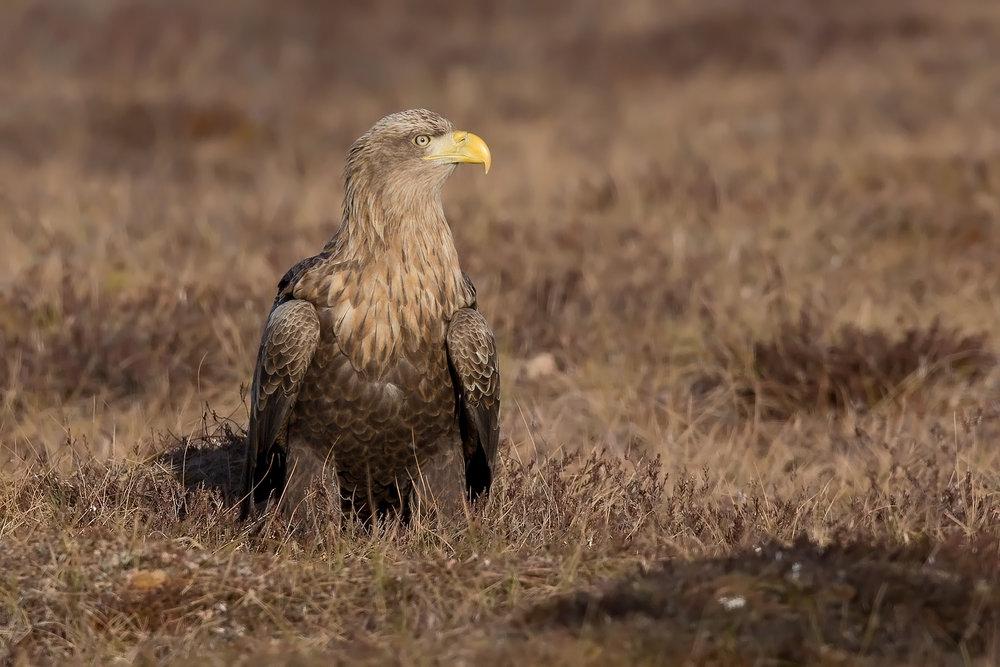 White tail eagle
