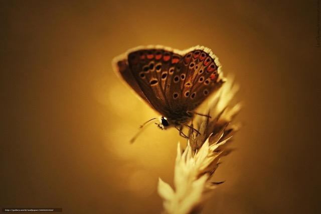 Papillon sur épis blé.jpeg