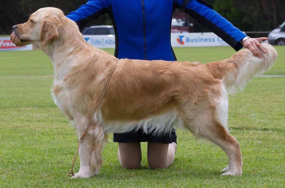 conarhu_golden_retrievers_perth_australia_ruth_connah_our_dogs_mia_gallery_1.jpg