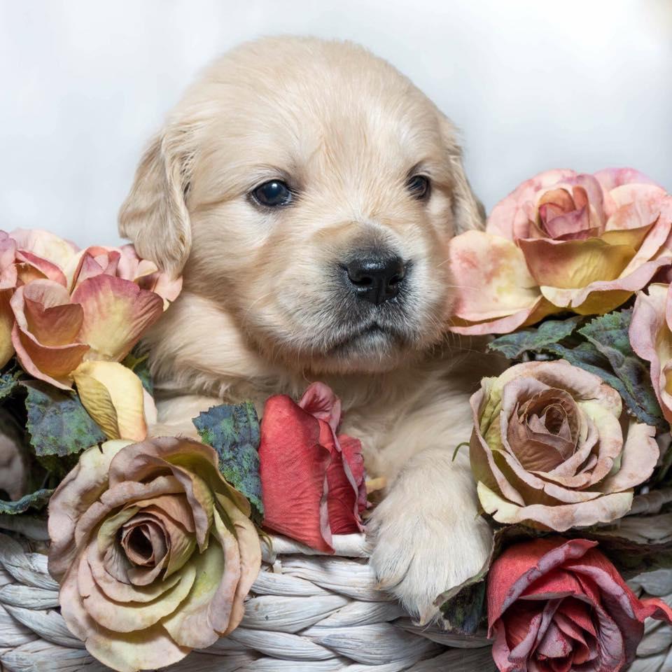 conarhu_golden_retrievers_kenya_basket_puppy.jpeg