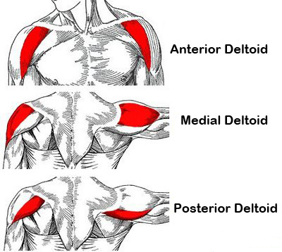 anatomical-deltoid-training_1426102159.jpg