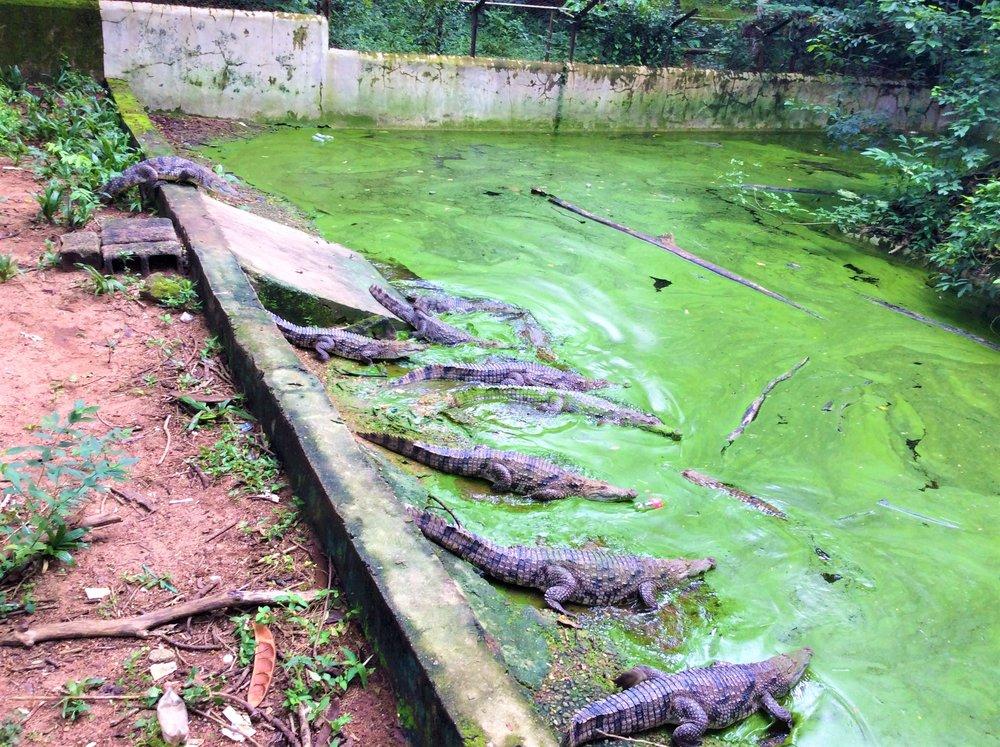 CROCODILE POOL | The Ajala Bug