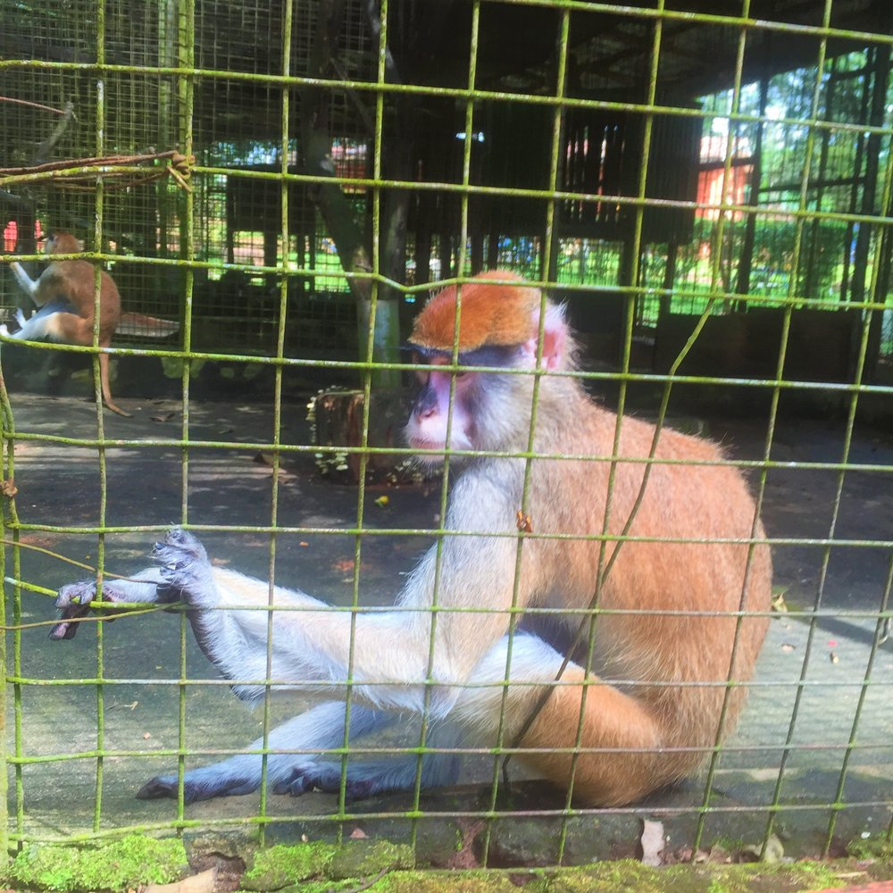 OGBA ZOO AND NATURE PARK | A  Red Patas Monkey (Erythrocebus Patas)
