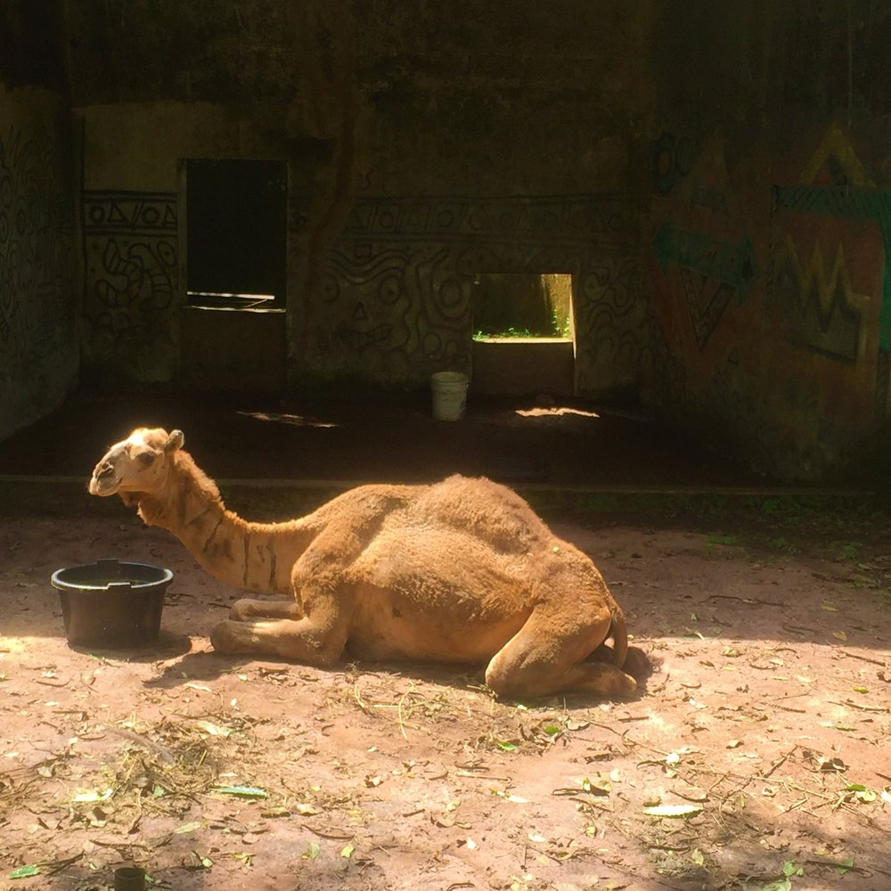 OGBA ZOO AND NATURE PARK | A camel
