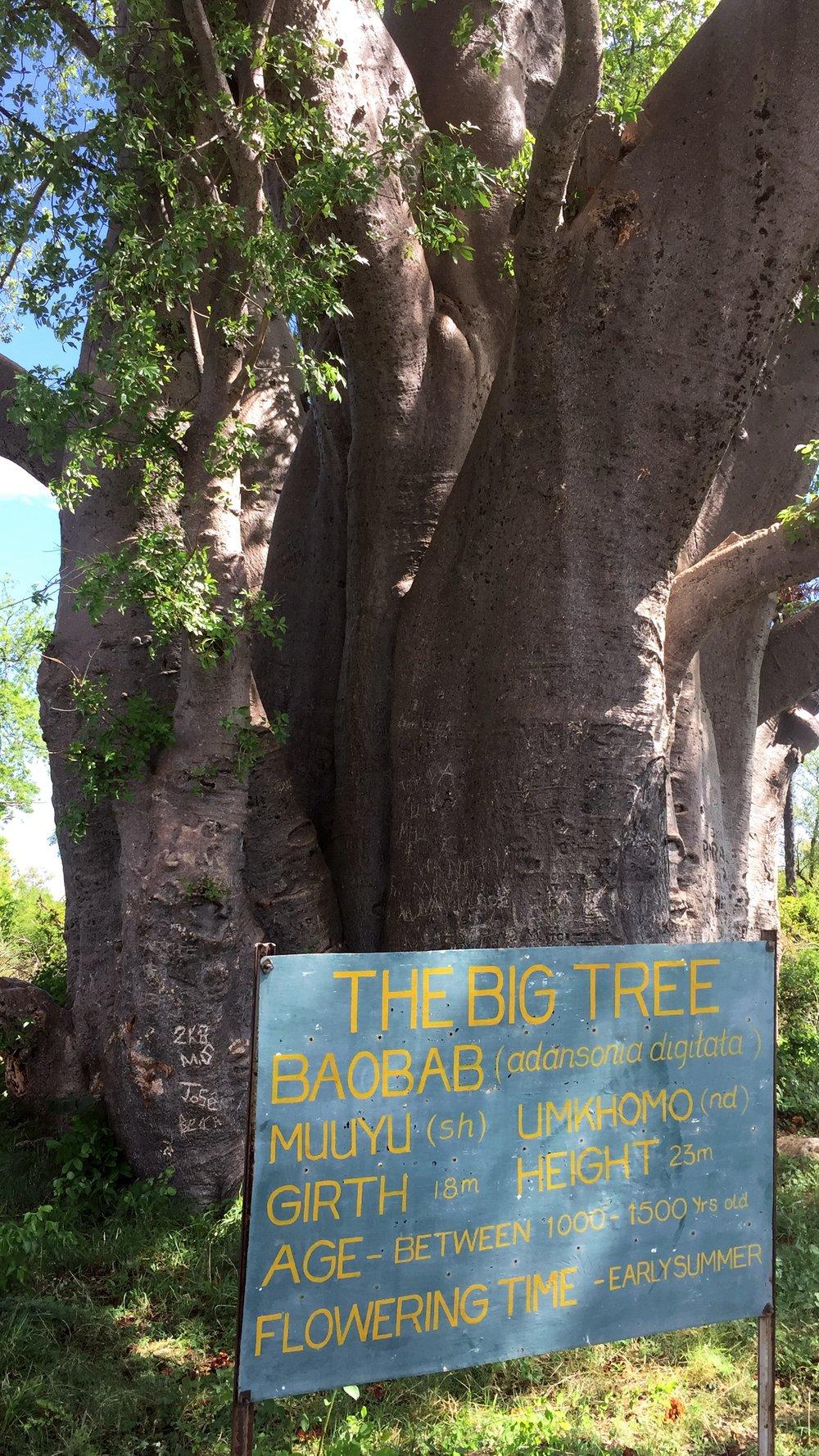 THE BIG TREE AT VICTORIA FALLS