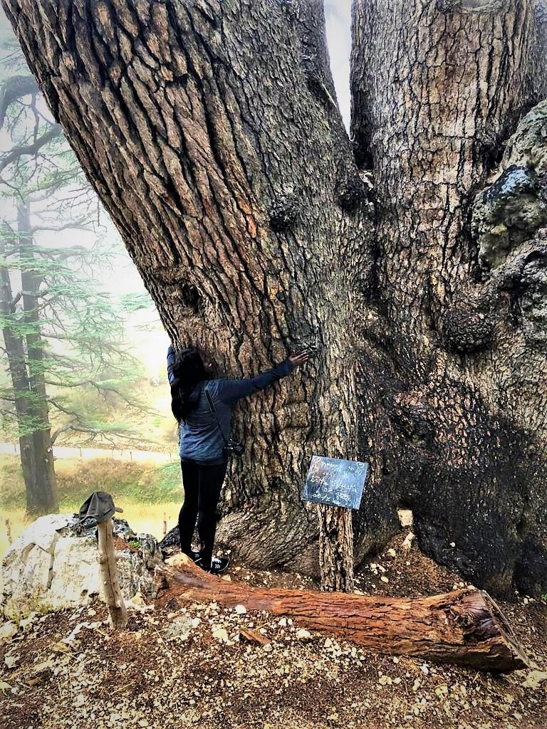 The oldest Cedar