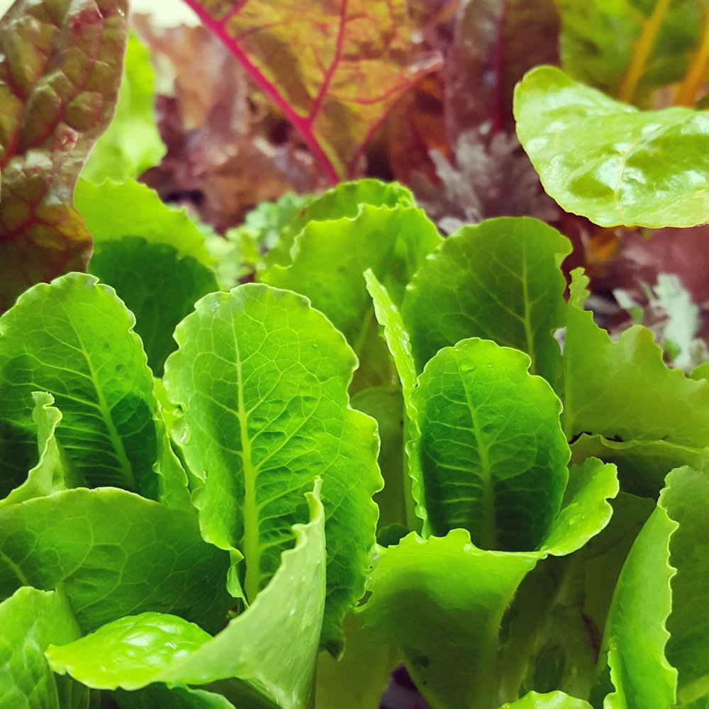 Parris Island Cos Lettuce and Red Sails Lettuce
