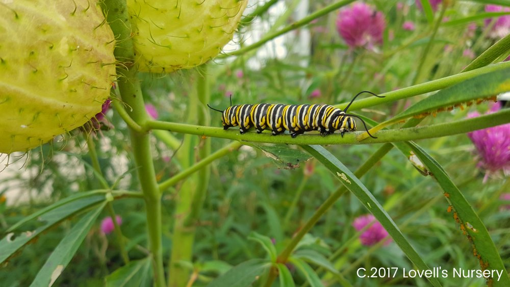 Monarch Caterpiller.jpg