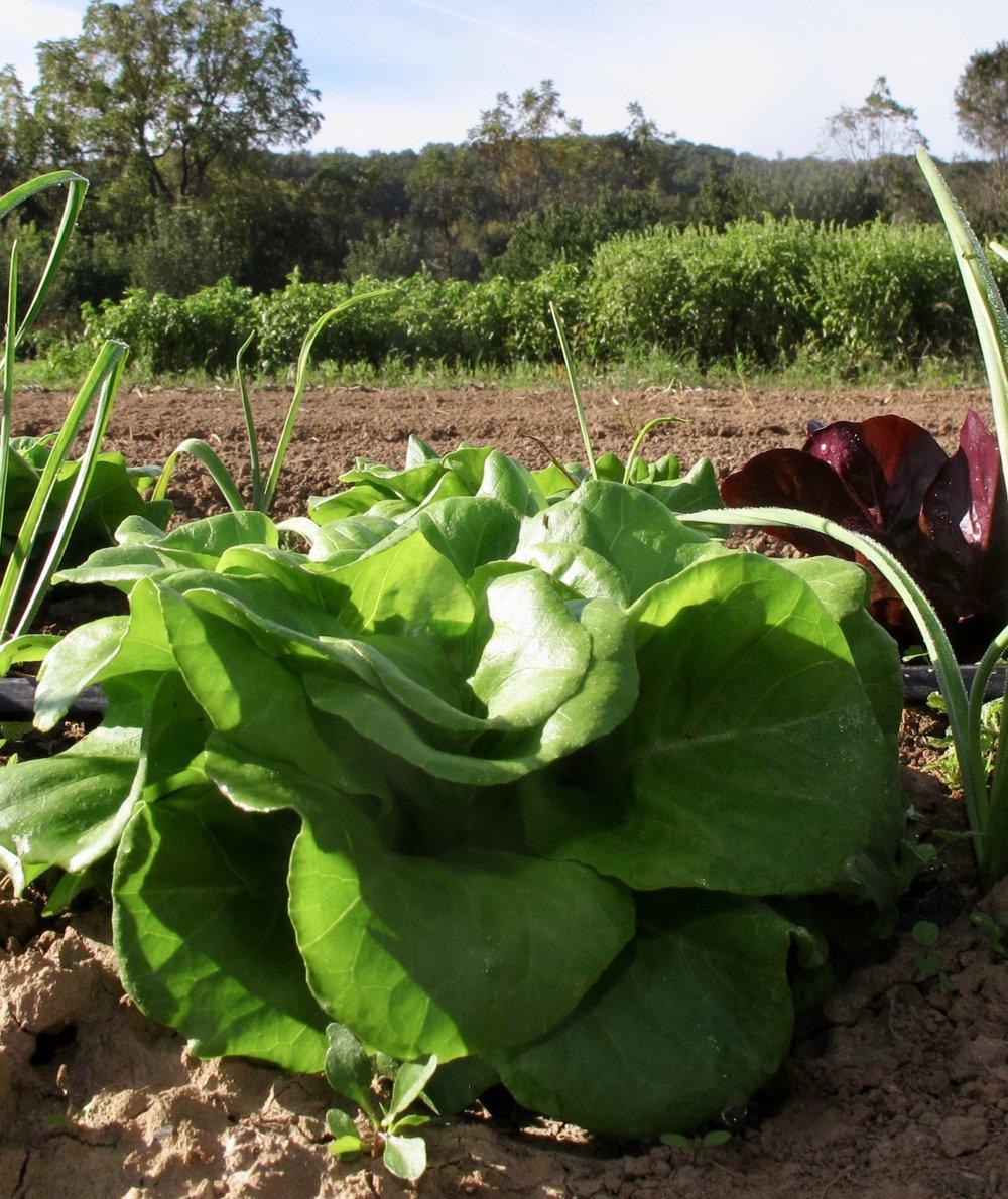 head lettuce on field.jpg