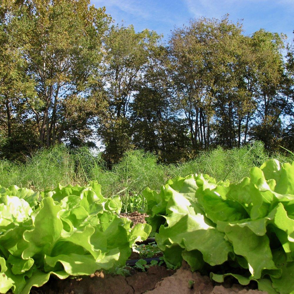 lettuce & fennel.jpg