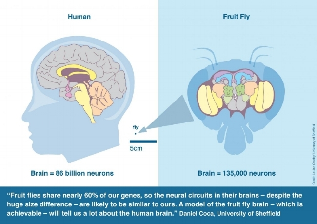 Comparison of human brain v. Fruit Fly, image credit: Louise Crosby / University of Sheffield