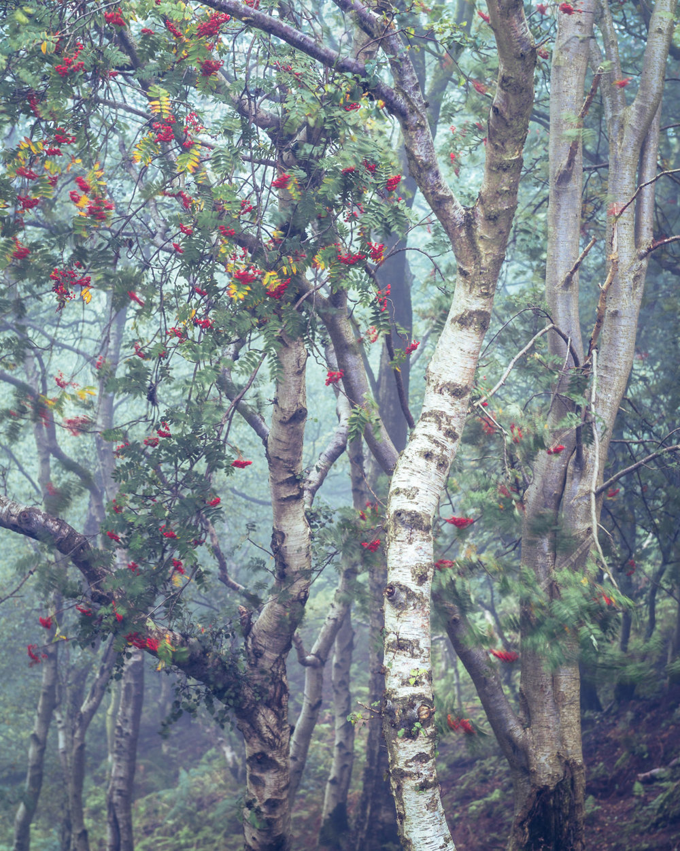 Birch and Rowan, Bickerton Hill