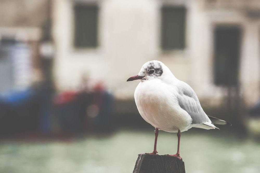 Seagull in Murano
