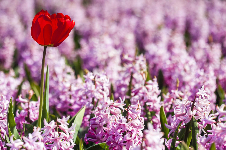 Netherlands flower fields red tulip in a pink hyacinths field mightylinksfo