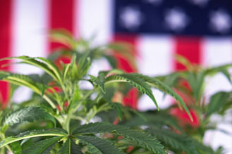 Veterans, Concussions, and CBD - Research on marijuana for veterans, and veterans cannabis advocacy organizations.