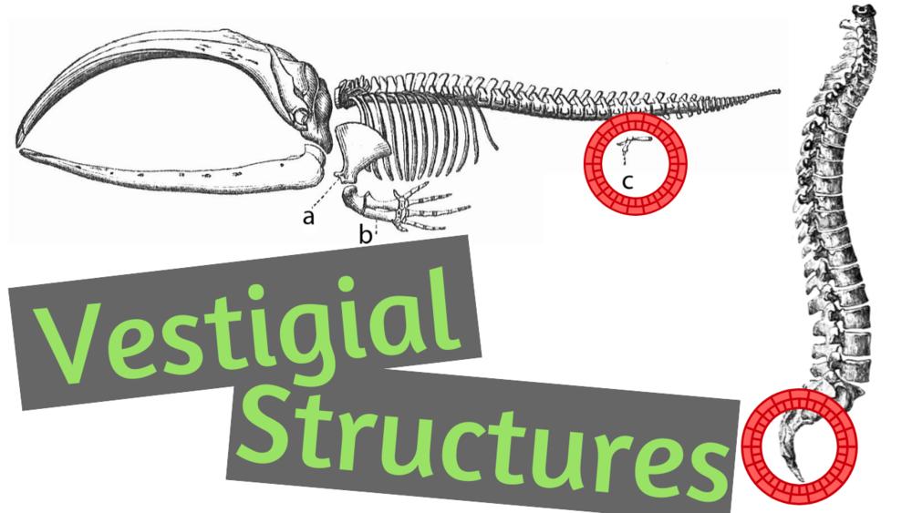 What are Vestigial Strucutres