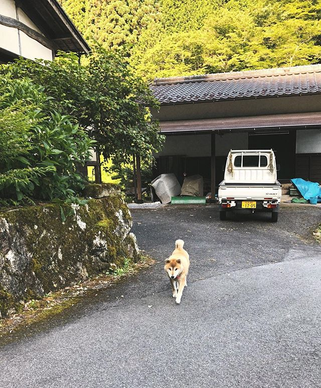 A Shiba Inu in its natural habitat - the countryside of Japan ☺️