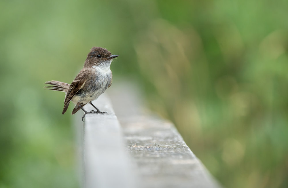 Eastern Phoebe Aggressively Defending it's territory