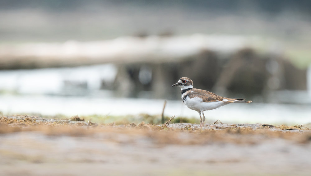 Killdeer posing for a shot