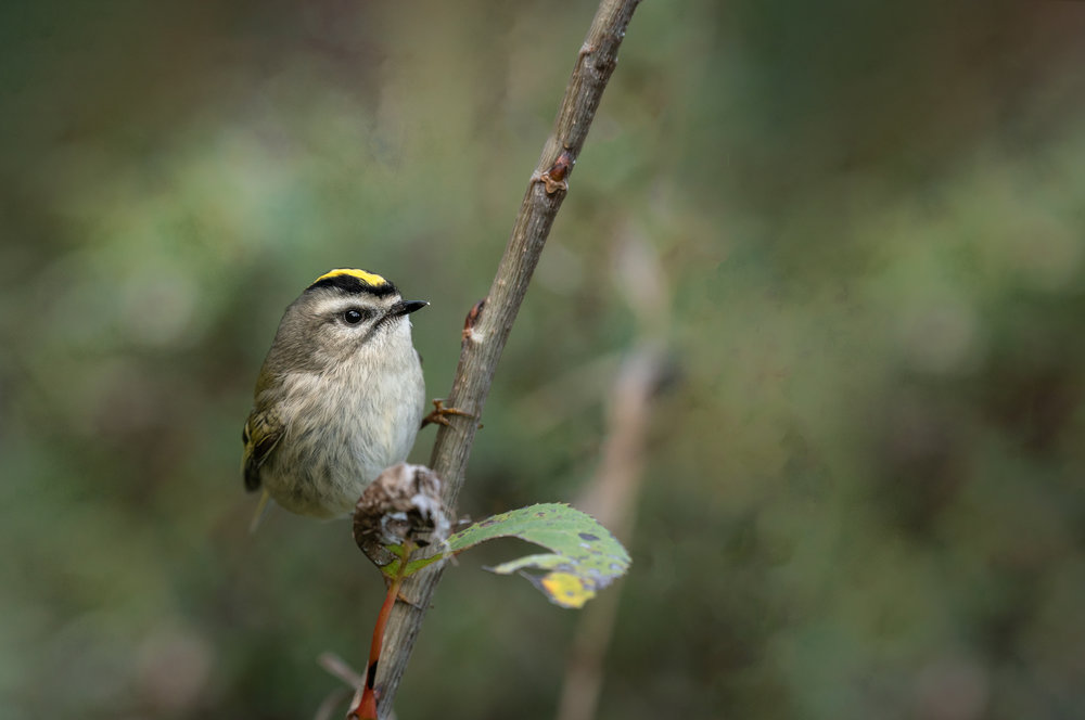 Golden Crowned Kinglet Pausing for a brief moment